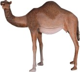 Life Size Male Camel